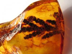 В куске янтаря найден древний ядовитый картофель