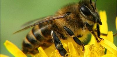 В США пчелы попали в список исчезающих видов