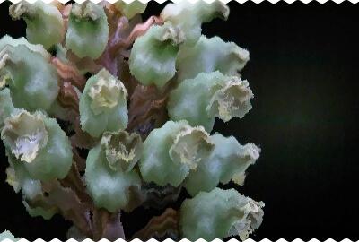 Gastrodia kuroshimensis.