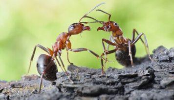 Муравьи общаются между собой при помощи «поцелуев»