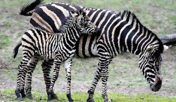 Ученые рассказали, почему зебры полосатые