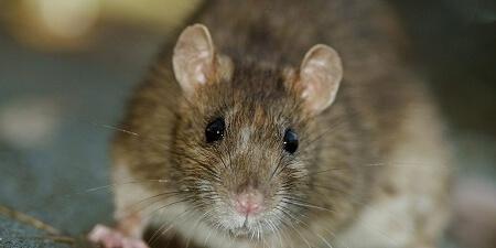 В Хоперском заповеднике нашли самую большую мышь
